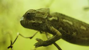 Chameleon Lizard Portrait, Close Up Reptile. Close up portrait of a green chameleon on a defocused background stock video