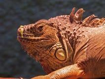 Chameleon lizard sleeping in the sun. Big reptile creeping animal. Amazing nature stock photos