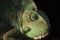 Chameleon lizard Stock Photos