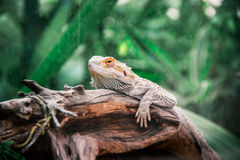 The chameleon on a log Royalty Free Stock Photo