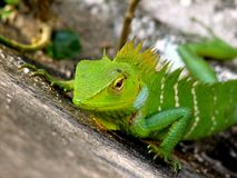 Chameleon looking Stock Photography