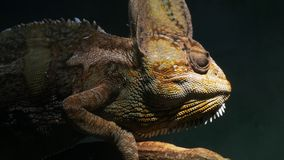 Chameleon looking around. Close up of a chameleon looking around stock footage