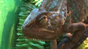 Chameleon looking around. Funny chameleon just looking around stock video footage