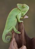 Chameleon looking down. A baby veiled chameleon is lookin down in a dark hole Stock Photography