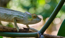Chameleon in Madagascar Royalty Free Stock Photography