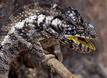 Chameleon, Madagascar Royalty Free Stock Photography