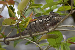 Chameleon - Madagascar Endemic Reptile Stock Photography