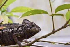 Chameleon - Madagascar Endemic Reptile. Chameleon - Rare Madagascar Endemic Reptile stock image