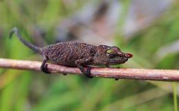 Chameleon - Madagascar Endemic Reptile. Chameleon - Rare Madagascar Endemic Reptile royalty free stock photo