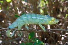 The Chameleon. Madagascar, the vast land and its Chameleons royalty free stock photography
