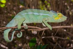 The Chameleon. Madagascar, the vast land and its Chameleons royalty free stock photo
