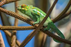 The Chameleon. Madagascar, the vast land and its Chameleons stock photography