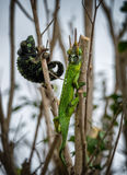 Chameleon male and female. On branches of bush Royalty Free Stock Photography