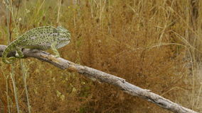 Chameleon male in heat. I chameleon male in heat, walking slowly down the branch stock video footage