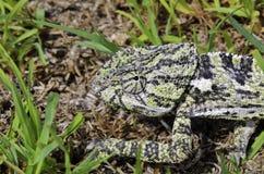Chameleon maschio Fotografie Stock