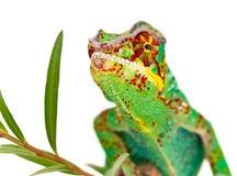 Chameleon maschio variopinto Fotografia Stock