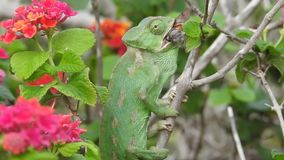 Chameleon Catching Hummingbird Hawk Moth Video Clip. Mediterranean Chameleon catching & eating a Hummingbird Hawk moth stock video footage