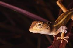 Chameleon moult Stock Image