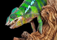 Chameleon munching on cricket Royalty Free Stock Images