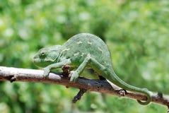 Chameleon na filial Foto de Stock Royalty Free