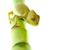 Chameleon na flor foto de stock royalty free