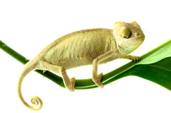 Chameleon na flor. imagem de stock royalty free