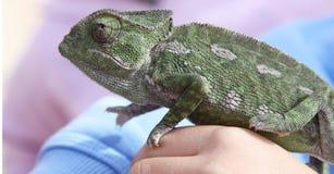 Chameleon na mão da criança Imagens de Stock Royalty Free