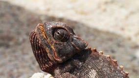 Chameleon in Namib Desert Royalty Free Stock Photos