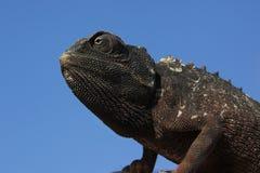 Chameleon - Namibia. Namibian Desert Chameleon in the Namib Desert in Namibia royalty free stock photography