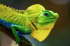 Chameleon in a natural environment in the forest stock photography