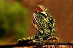 Chameleon nell'azione Fotografia Stock Libera da Diritti