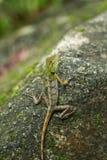 Chameleon nella zona tropicale Fotografia Stock