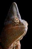 Chameleon at night Royalty Free Stock Photos