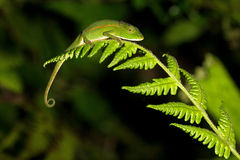 Chameleon at night Royalty Free Stock Photos