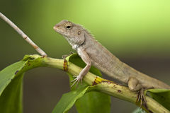 Chameleon no verde Foto de Stock Royalty Free