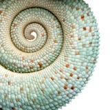 Chameleon novo Furcifer Pardalis - Nosy seja Fotografia de Stock Royalty Free