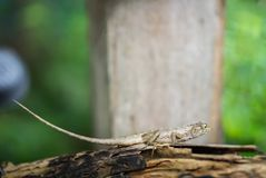 Chameleon on the old timber. Chameleon looking something on the old timber in the garden Stock Images
