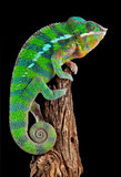 Chameleon On Drift Wood Royalty Free Stock Photography