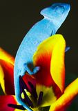 Chameleon On The Tulip Stock Image