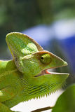 Chameleon. With open mouth on plant Royalty Free Stock Photo