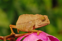 Chameleon on orchid Stock Images