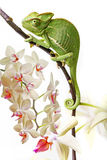 Chameleon and orchid Royalty Free Stock Photography