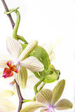 Chameleon on an orchid Stock Image