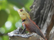 Chameleon. Oriental garden lizard of Maldives Royalty Free Stock Photography
