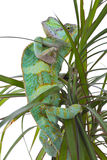Chameleon on a palm Royalty Free Stock Photo