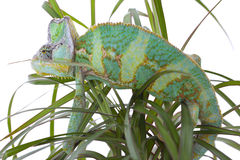 Chameleon on a palm Stock Image