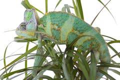 Chameleon on a palm Stock Image