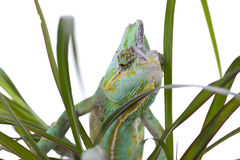 Chameleon on a palm Stock Photos