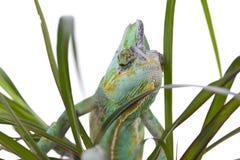 Chameleon on a palm Stock Photos