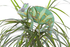 Chameleon on a palm Royalty Free Stock Images